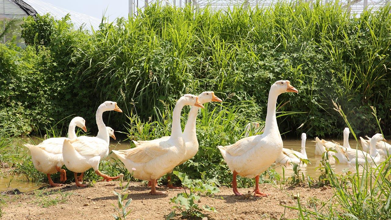 White Goose Down