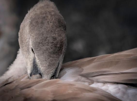 Grey Duck Down