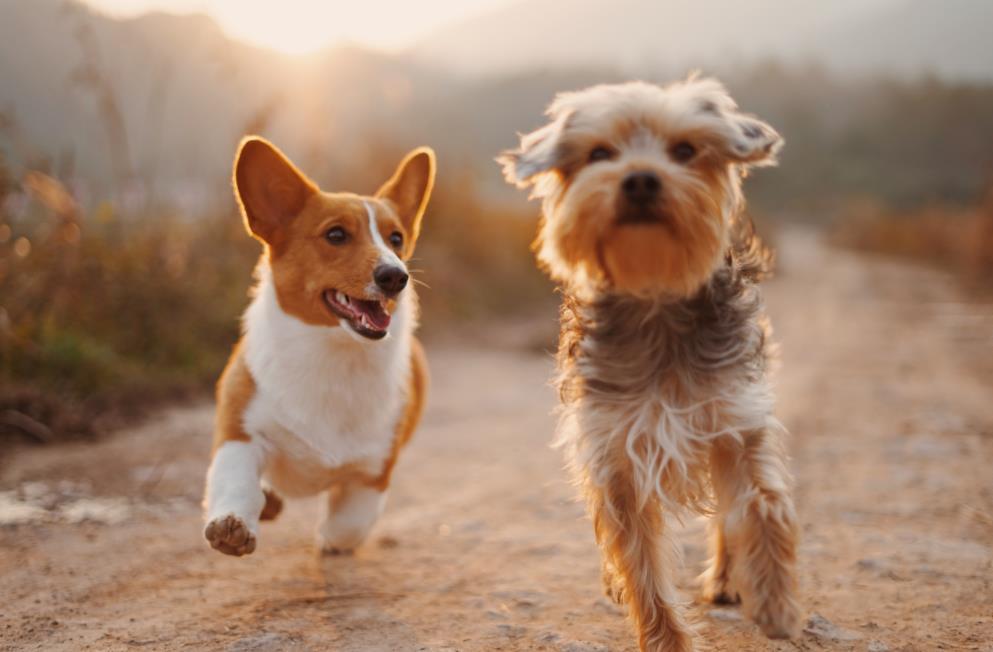 Cómo elegir los juguetes y suministros adecuados para su perro