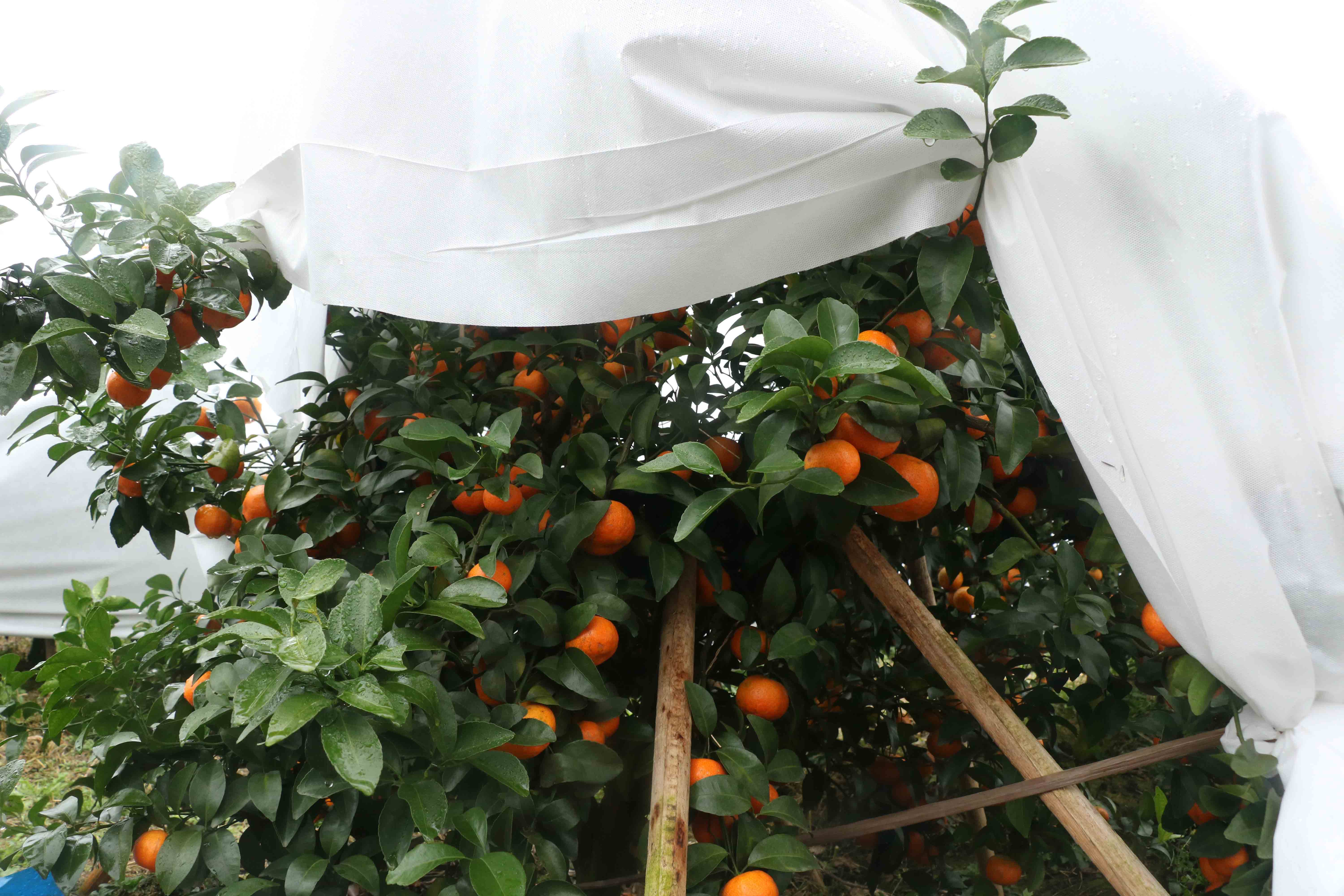 Agricultural non woven floating row cover